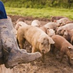 Muddy boots and pigs