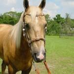 Horse-stud