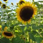 flower-farm